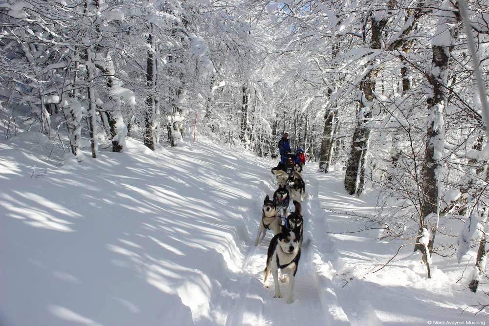 chiens de traineau © Nord-Aveyron-Mushing