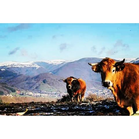 Vaches Aubrac @cestdanslapochette
