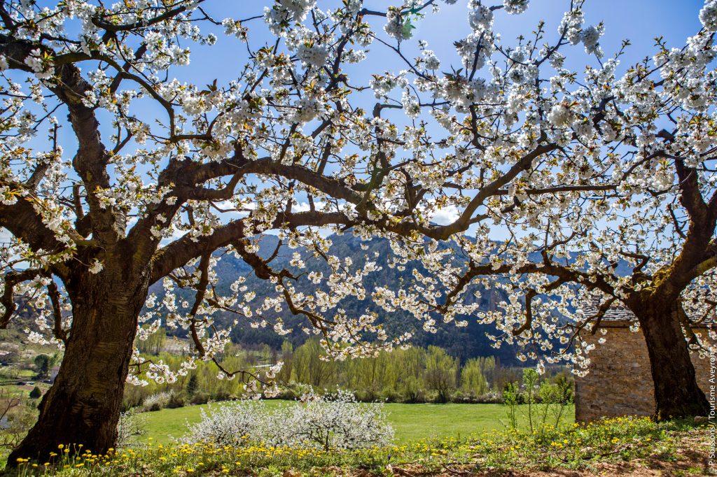 Cerisiers en fleurs dans la vallée du Tarn, Aveyron © P. Soissons